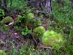 Almindelig Hvidmos (Leucobryum glaucum)